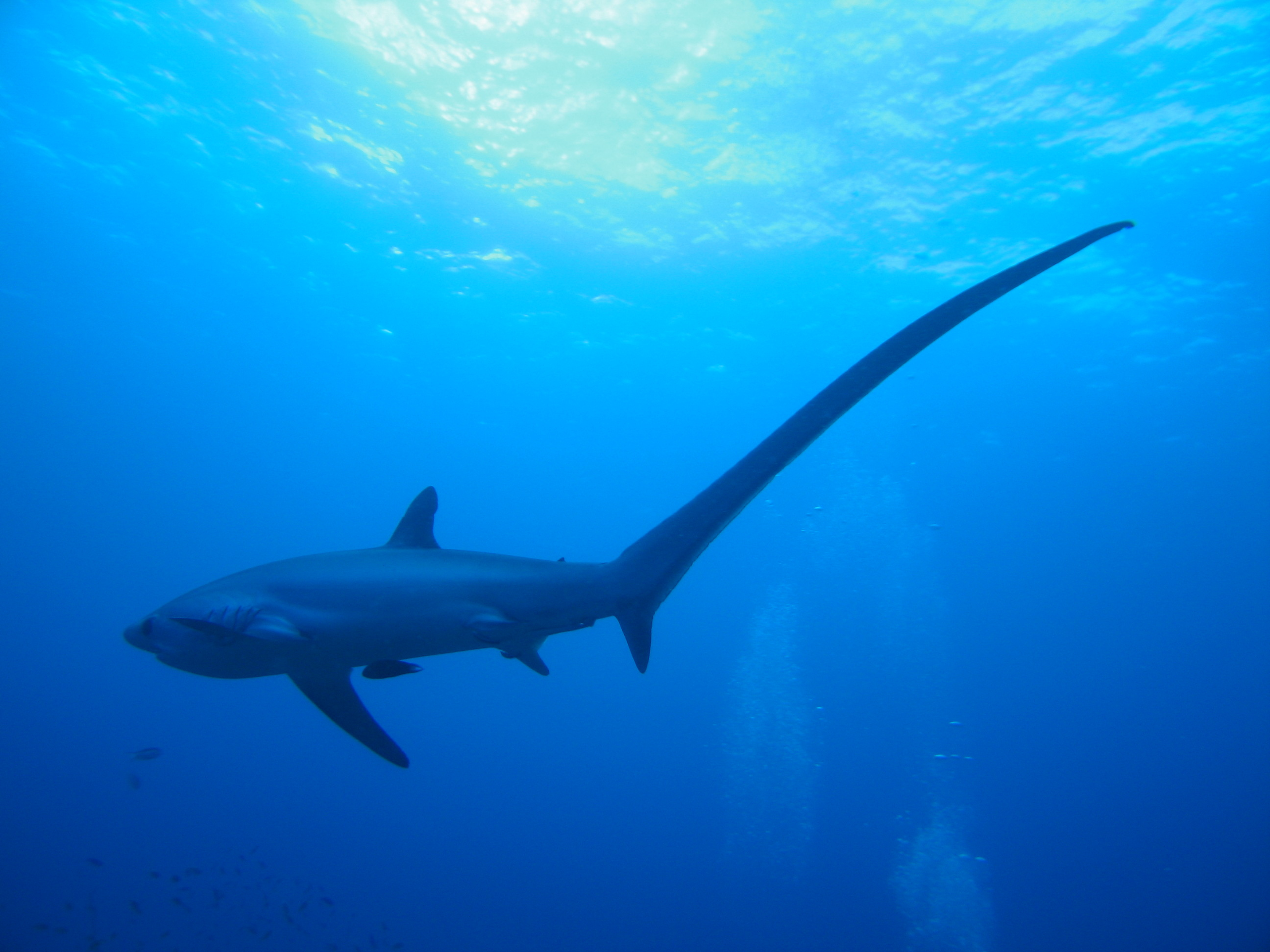 The Thresher Sharks Of Malapascua Island • Scuba Diver Life