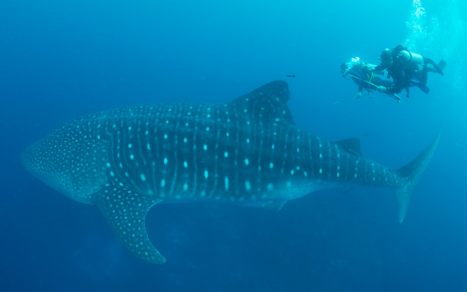The  scientists Dive team attaches towed satellite tag to adult whale shark at Darwin Island, Galapagos (Ecuador). Photo: Clare Prebble.