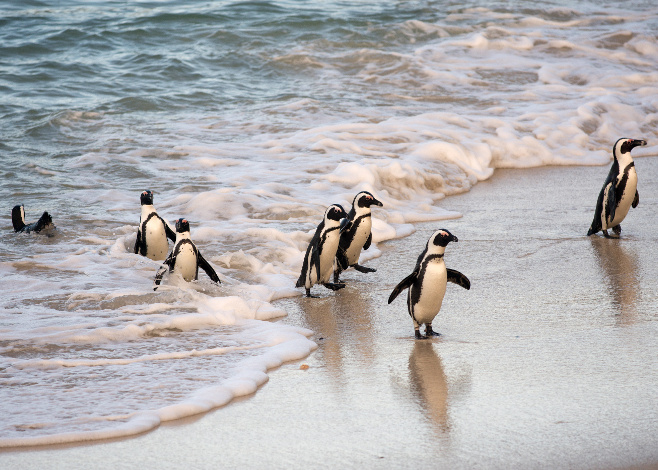African penguins coming ashore on Boulder's Beach near Cape Town, South Africa