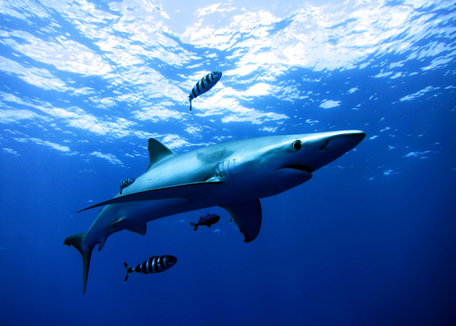 Snorkeling with Blue and Mako Sharks