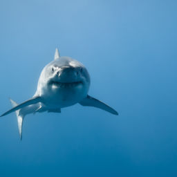 South African Great Whites