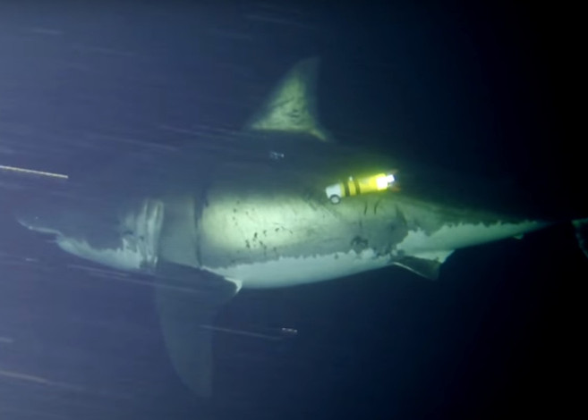 Great White Shark Caught Napping