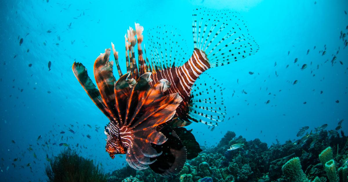 Cayman Islands Lionfish Culling