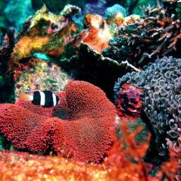 Wakatobi S Perfect Pair Clownfish And Anemones Scuba Diver Life