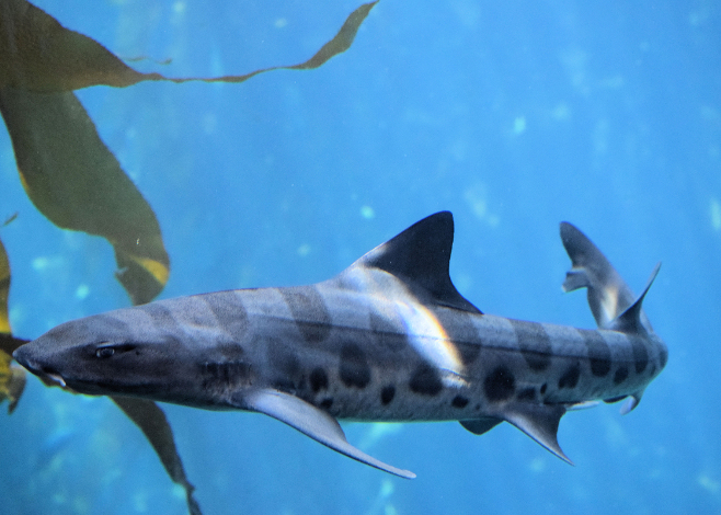 leopard_shark_featured_san
