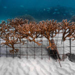 When staghorn coral habitats become degraded, coral restoration can help regrown and restore the reef.