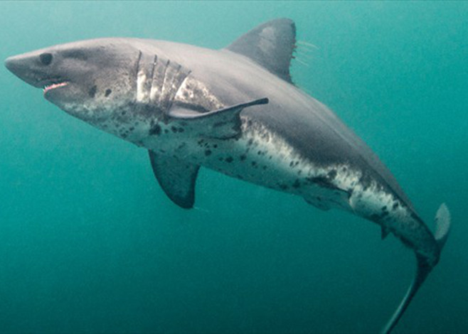 salmon_shark_featured2