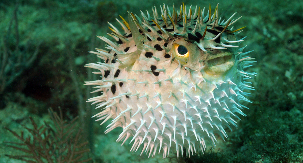 stop puffing pufferfish scuba diver life