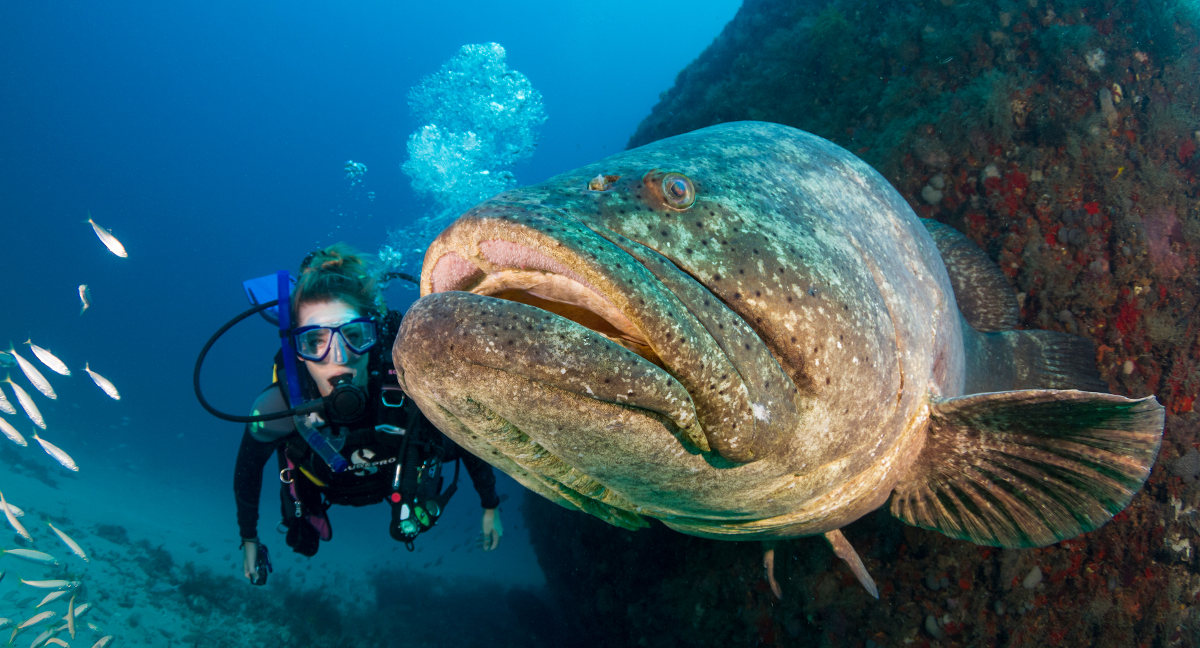 Help protect florida 39 s goliath groupers scuba diver life for Goliath grouper fish