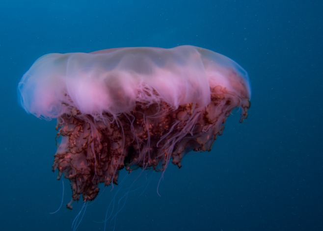 jellyfish of australia