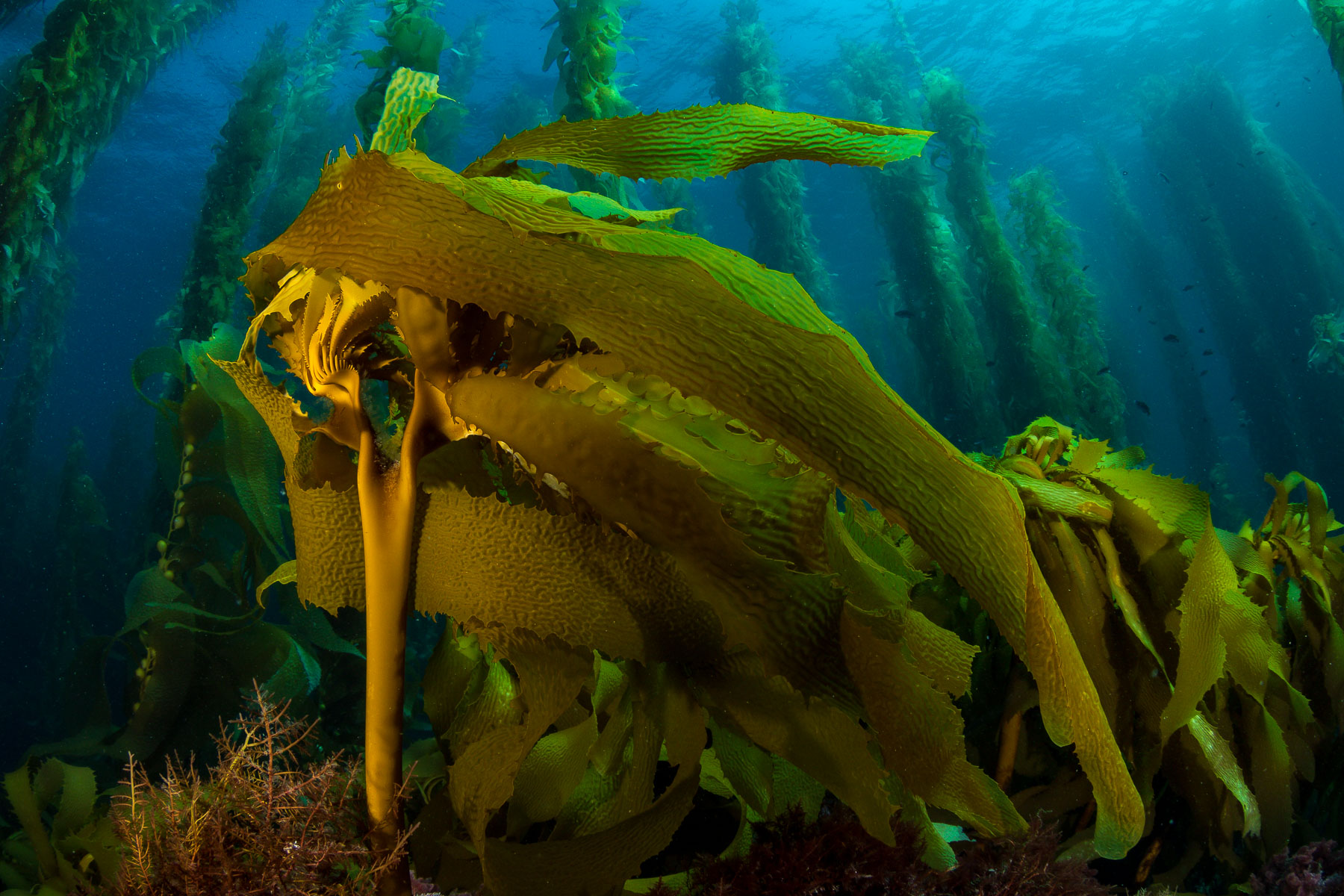 Diving the Southern Channel Islands Kelp Forests
