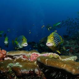 north maldives sweetlips