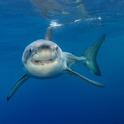 great white shark in Guadalupe Island
