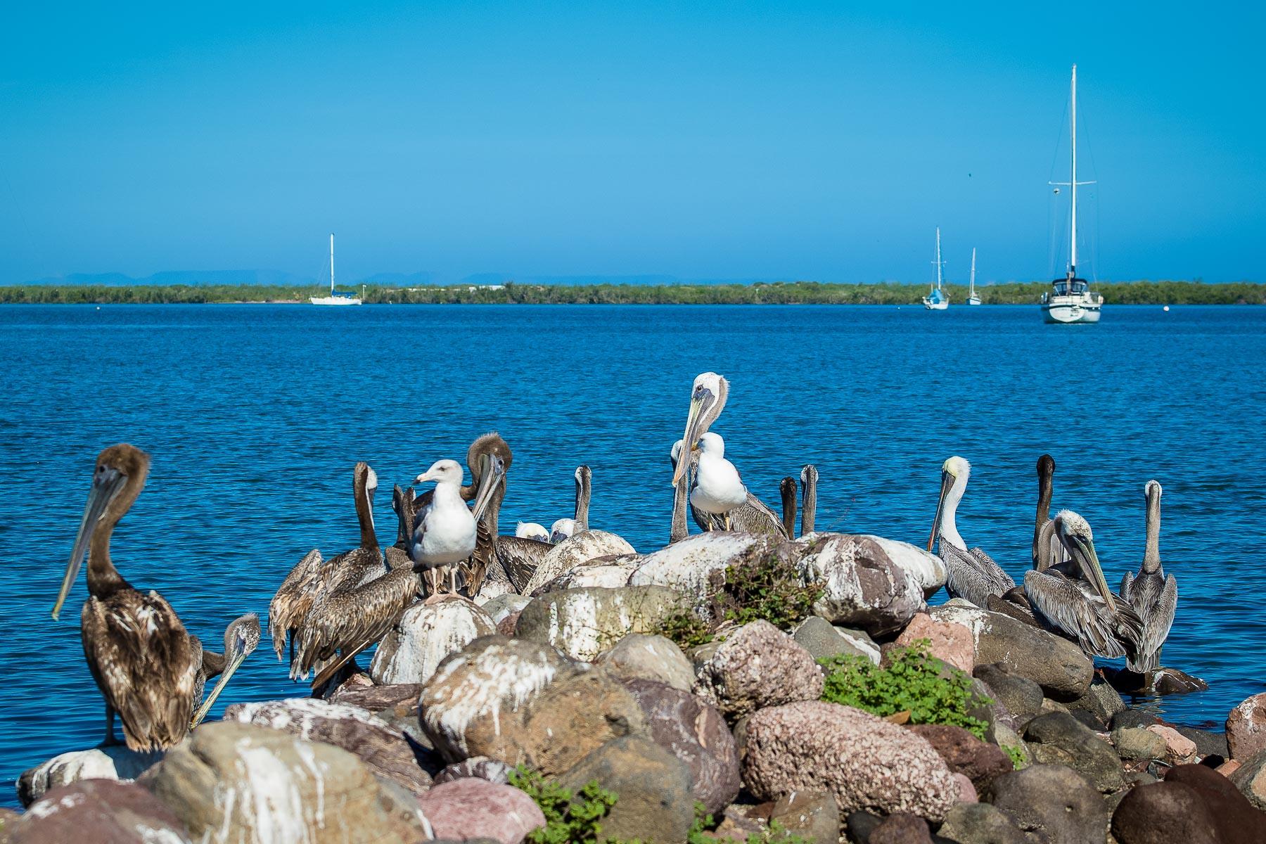 Pelicans in La Paz