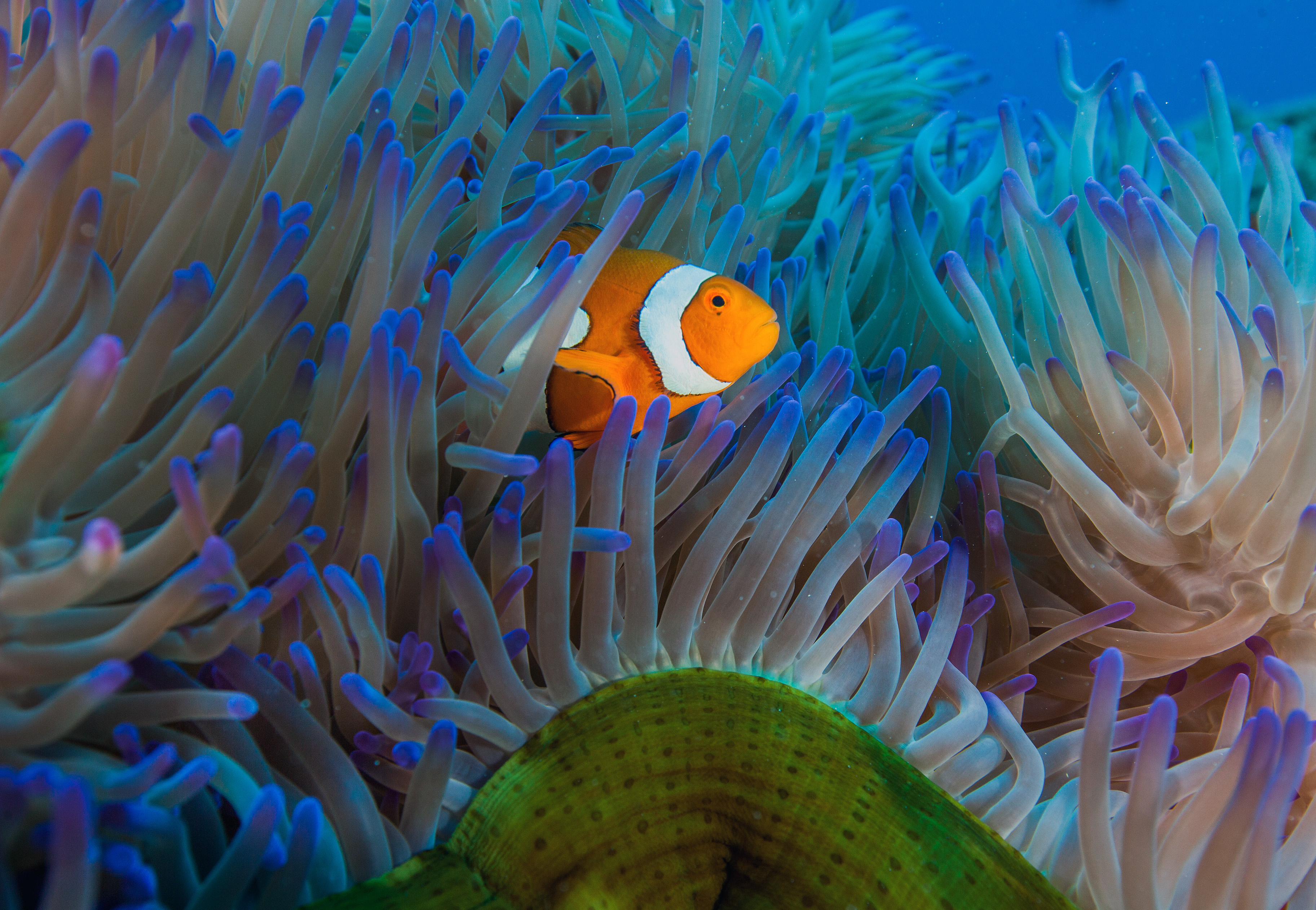 A curious clownfish at Steve's Bommie. Photo Courtesy of Mike Ball Dive Expeditions
