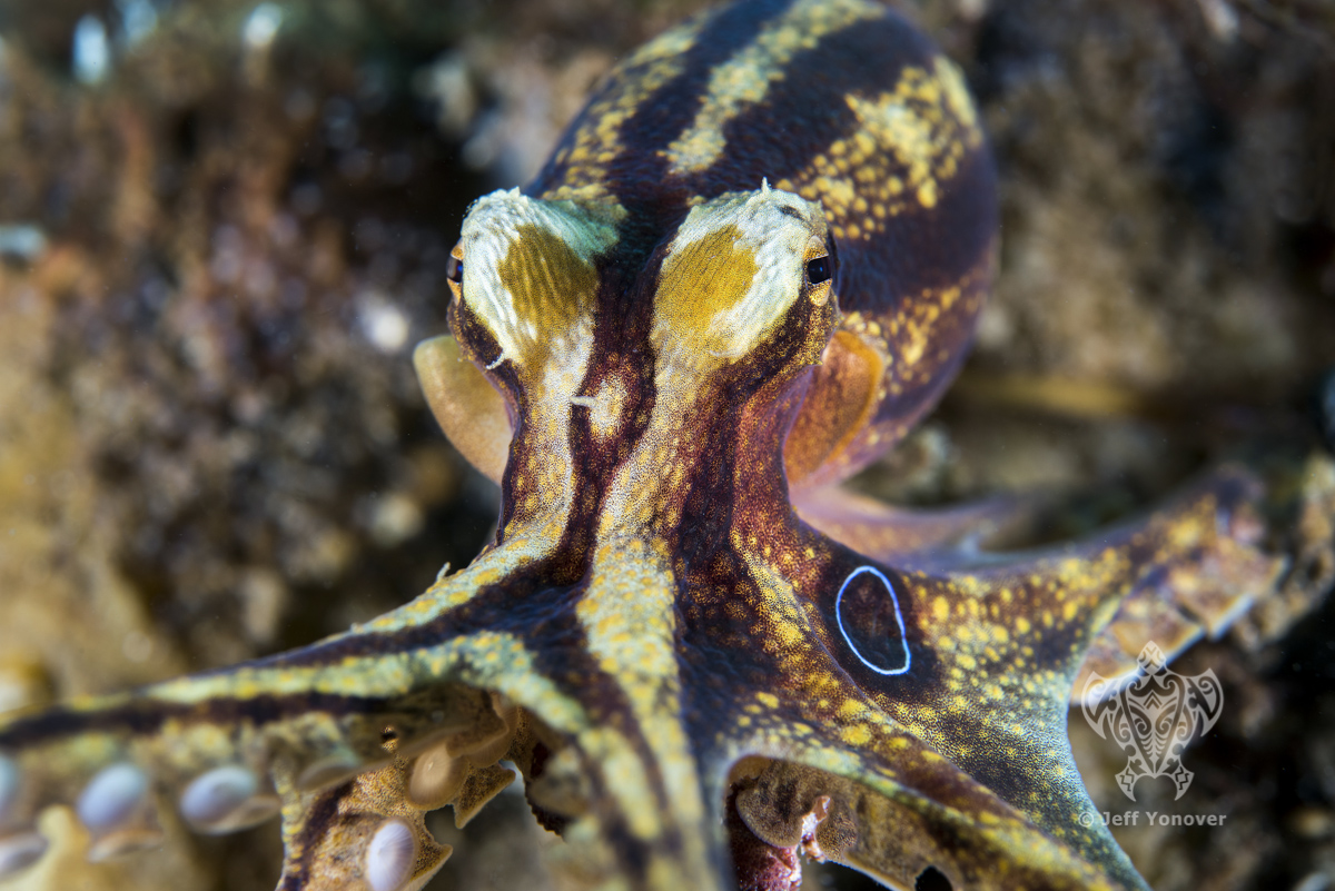 <b>A poison Ocellate (Mototi) octopus reaches for the camera </b>